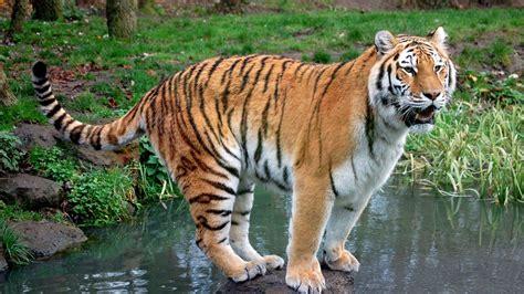 harimau wallpaper
