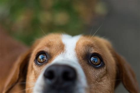 Dog Eye Injuries