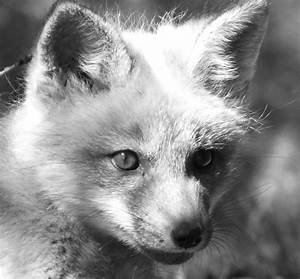 30 Day Black And White Photo Challenge Entry #8 Baby Fox