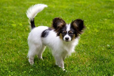 papillon dog breed information buying advice