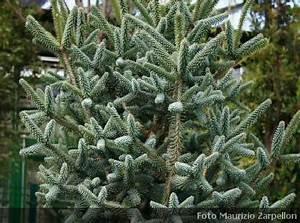 Abies (Abete), conifere della famiglia delle Pinaceae
