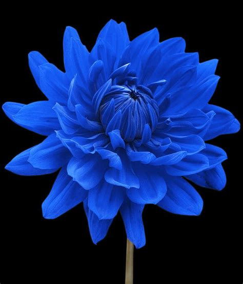blue flower quot blue dahlia flower black background quot by natalie kinnear flower in nature and dahlias