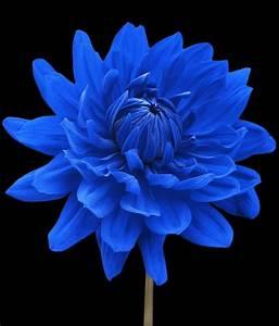 """Blue Dahlia Flower Black Background"" by Natalie Kinnear ..."