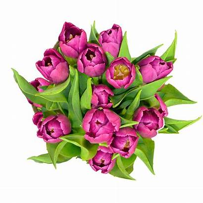 Purple Tulip Flowers Tulips Cut Fresh Globalrose