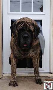 Dog doors for extra large dogs and giant breeds big dog for Mastiff dog door