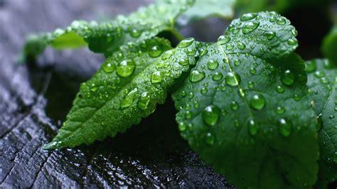 green mint leaves  water drops