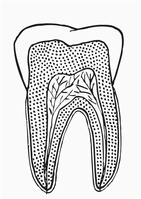 coloring page tooth section  printable coloring pages img