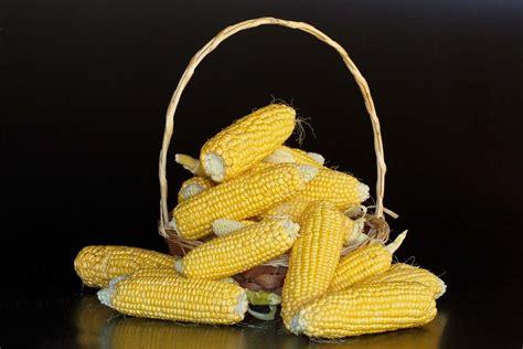 Maize Seed Germination (Corn), Time Period, Procedure ...