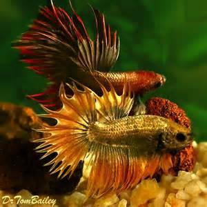 Dragon Crowntail Betta Fish