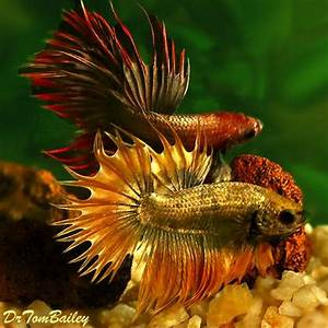 Dragon Scale Crowntail Male Bettas, Featured item 10/15. # ...