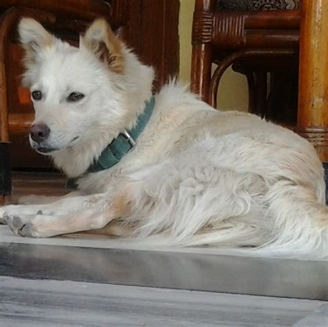indian spitz breed guide learn   indian spitz