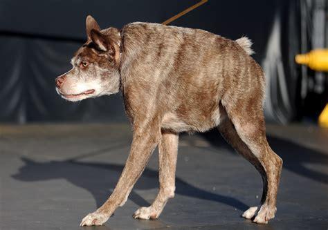 worlds ugliest dog  quasi modo deformed pit bull