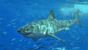 Advice Concerning White Sharks