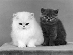 two kittens white chinchilla and british shorthair blue ...
