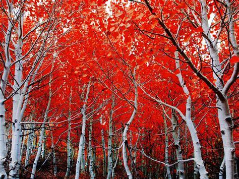 fall birch red leaves hd wallpaper