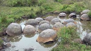 A Group Of Galapagos Giant Tortoises Geochelone Nigra