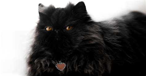 can cats see color or black and white does my cat need a summer haircut petfinder