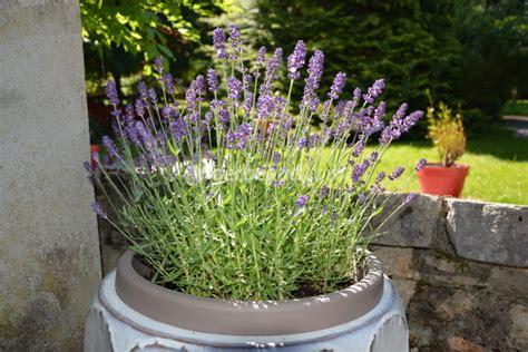 lavande en pot entretien plantes pour jardini 232 res peu gourmandes en arrosage
