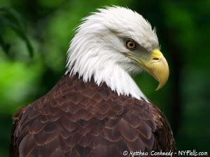 eagles and hawks of new york