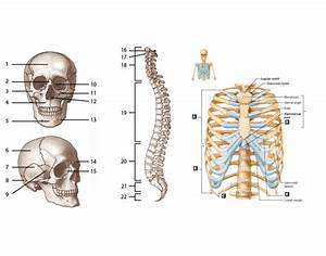Axial Skeleton Labeling