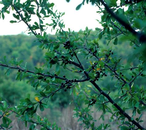 Native Trees Of Texas Database Search
