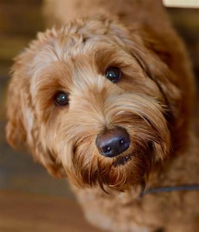 Doodle Breeds Goldendoodle Dogs Dog Labradoodles Hills