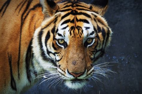 Tiger Stripe Vectors, Photos And Psd Files  Free Download