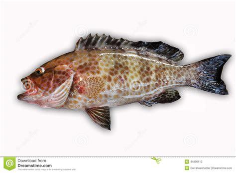 fish mero pescado healthy sea grouper fresco fresh mar fondo pescados prendedero sana comida blanco cernia filet mare fillet pesce