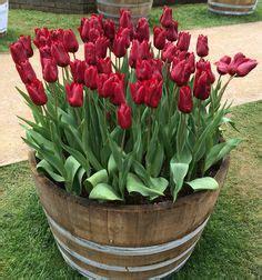 1000 ideas about tulips garden on tulip