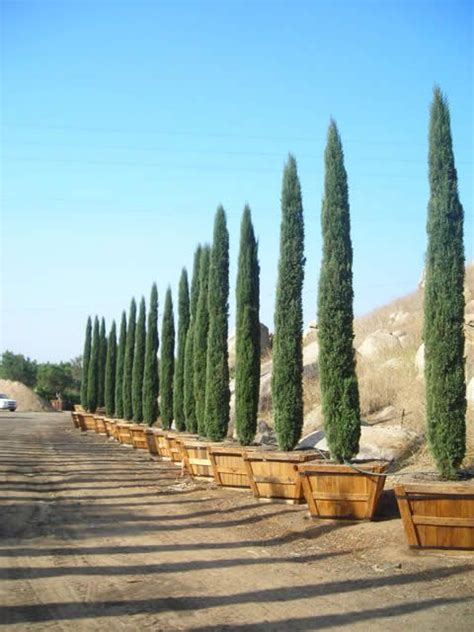tuscan tree types italian cypress 3 on each side of my driveway the new