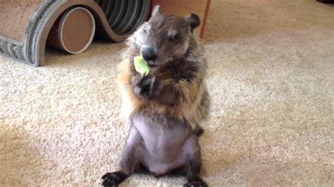 cute baby pet groundhog part  youtube