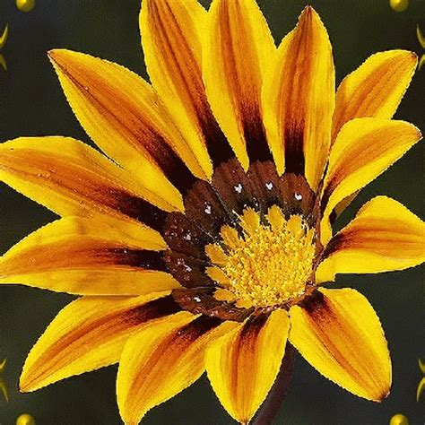 gazania seeds splendens wildflower