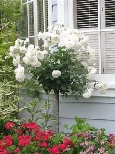 Rosenrost Was Tun : 152 besten rosen stammrosen bilder auf pinterest ~ Lizthompson.info Haus und Dekorationen