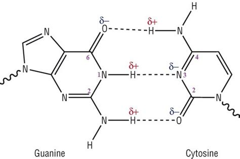 why are there two hydrogen bonds between adenine and thymine but three hydrogen bonds between