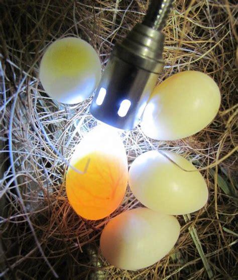 how are bird eggs fertilized fertilized eggs for hatching exotic birds id 10537922 buy united arab emirates bird eggs