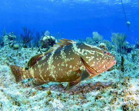 grouper nassau bahamas threats fish reef spawning groupers florida coral endangered vulnerable protected reefs
