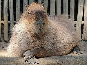 1000+ images about Capybara on Pinterest | Stretched ...