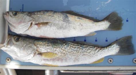 weakfish virginia institute  marine science