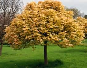 trees for small gardens cox garden designs