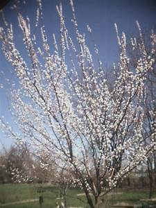 Apricot Tree Pictures