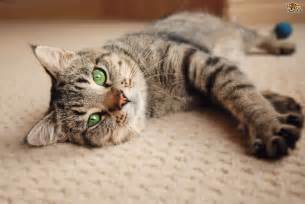 introducing a cat to a new home tips for introducing a new rescue cat to the household