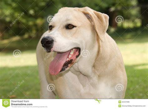 yellow labrador mix dog royalty  stock  image