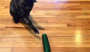 cat cucumber the discovers cats are afraid of cucumbers with
