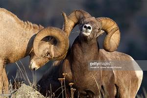 Bighorn Sheep Rams Playfighting Mission Valley Western ...