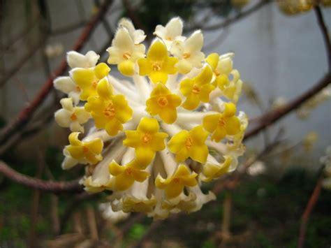 fiori gialli invernali fiori invernali piante da giardino fiori invernali