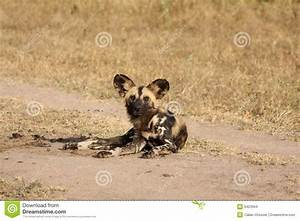 stock images wild dogs south africa image