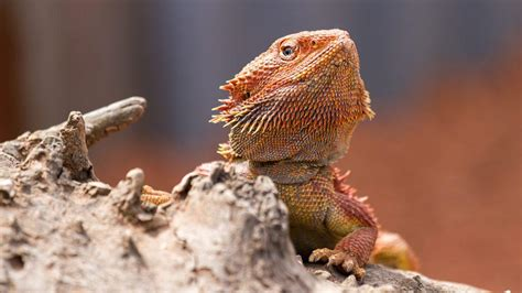 bearded dragon heat l wattage how turning up the heat turns male bearded dragons into
