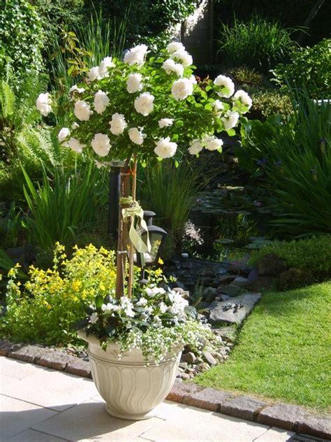 rosenstaemmchen  kuebel unterpflanzung moeglich mein