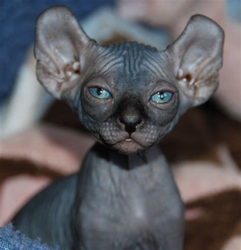 6 Strange Breeds Of Hairless Cats  Featured Creature