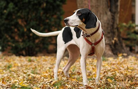 coonhound shedding treeing walker coonhound breed